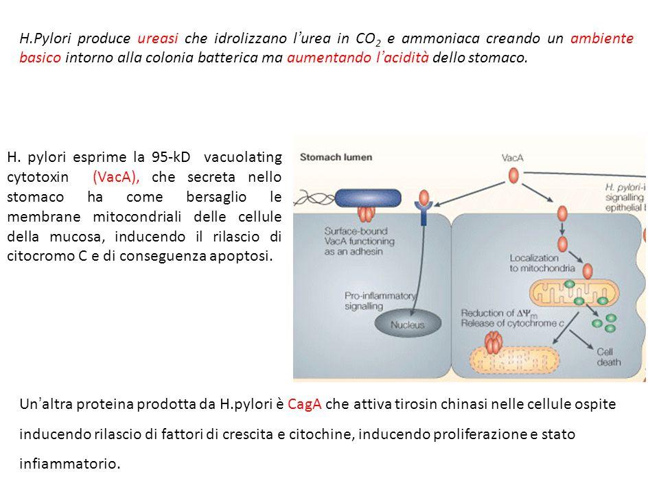 Helicobacter pylori H. Pylori si adatta nell'ambiente acido dello stomaco, mostrando una serie di aspetti caratteristici CHE GLI PERMETTONO di attrave