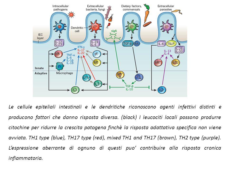 Cellule di Paneth. Disfunsioni delle cellule di Paneth e scorretta secrezione di defensine possono contribuire alle IBD. Pazienti con Crohn o con susc