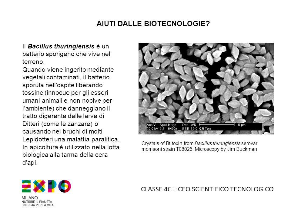 AIUTI DALLE BIOTECNOLOGIE? Il Bacillus thuringiensis è un batterio sporigeno che vive nel terreno. Quando viene ingerito mediante vegetali contaminati