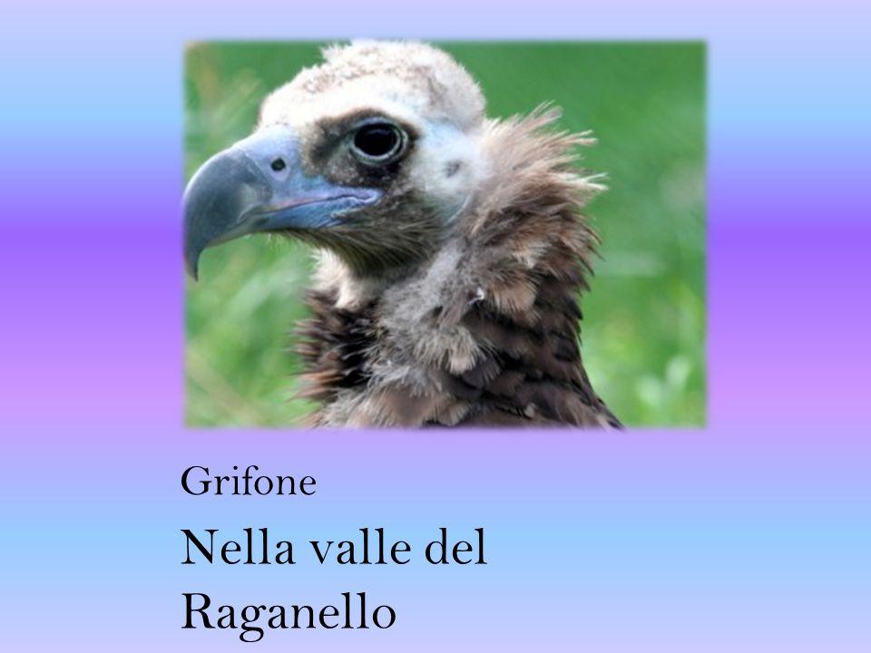 Grifone Nella valle del Raganello