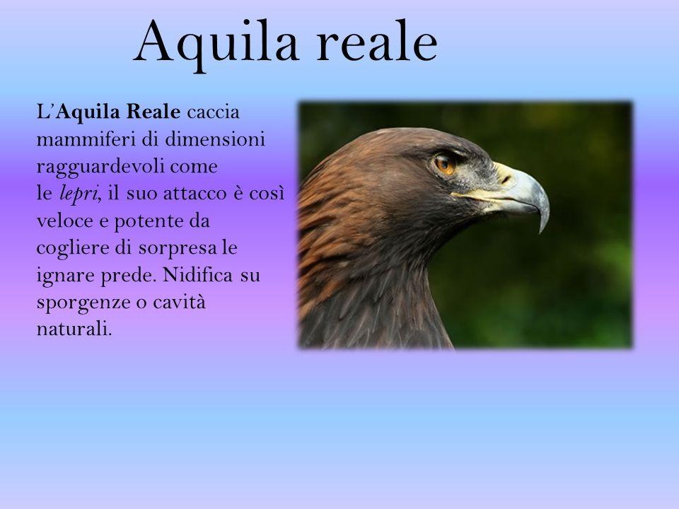 Aquila reale L' Aquila Reale caccia mammiferi di dimensioni ragguardevoli come le lepri, il suo attacco è così veloce e potente da cogliere di sorpresa le ignare prede.
