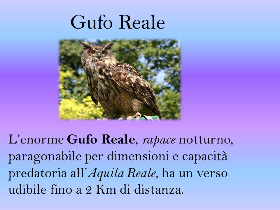 Gufo Reale L'enorme Gufo Reale, rapace notturno, paragonabile per dimensioni e capacità predatoria all' Aquila Reale, ha un verso udibile fino a 2 Km di distanza.