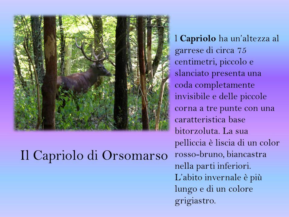 Il Capriolo di Orsomarso l Capriolo ha un'altezza al garrese di circa 75 centimetri, piccolo e slanciato presenta una coda completamente invisibile e delle piccole corna a tre punte con una caratteristica base bitorzoluta.