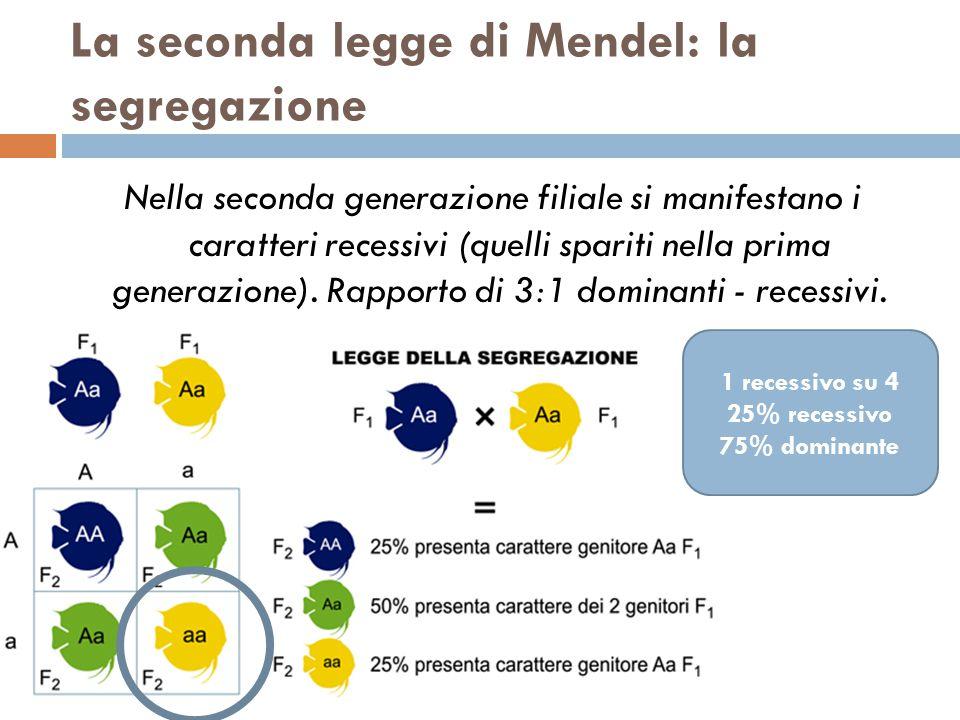 La seconda legge di Mendel: la segregazione Nella seconda generazione filiale si manifestano i caratteri recessivi (quelli spariti nella prima generaz