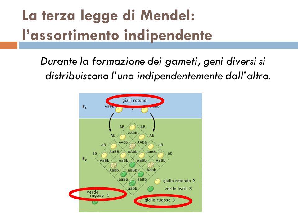 La terza legge di Mendel: l'assortimento indipendente Durante la formazione dei gameti, geni diversi si distribuiscono l'uno indipendentemente dall'al