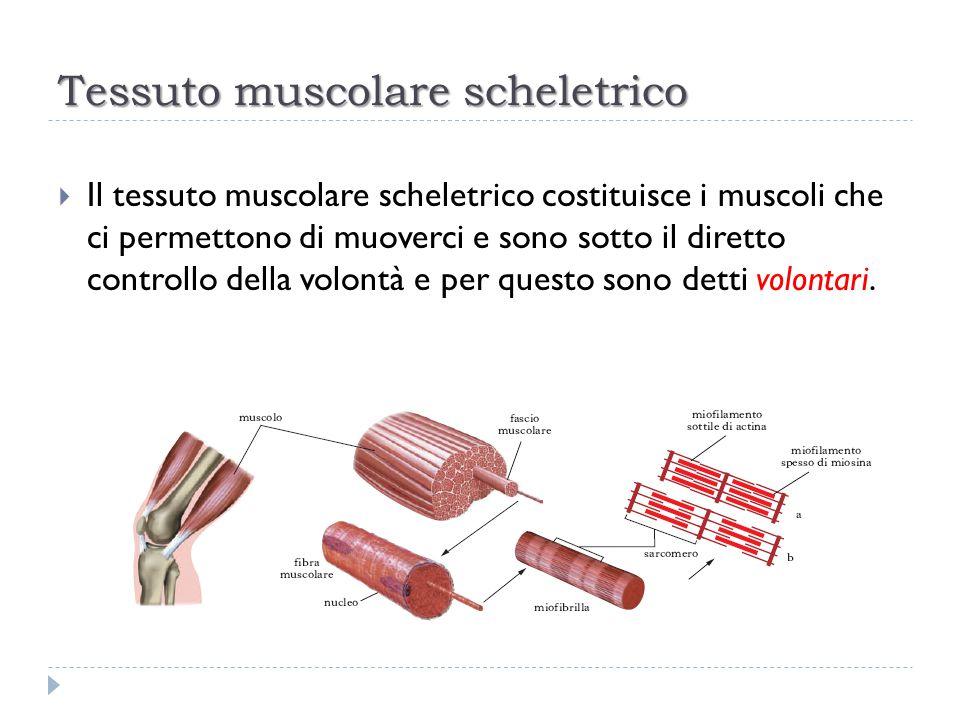 Tessuto muscolare scheletrico  Il tessuto muscolare scheletrico costituisce i muscoli che ci permettono di muoverci e sono sotto il diretto controllo