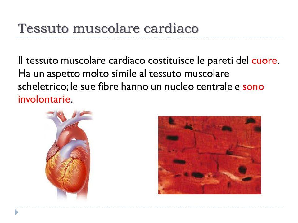 Tessuto muscolare cardiaco Il tessuto muscolare cardiaco costituisce le pareti del cuore. Ha un aspetto molto simile al tessuto muscolare scheletrico;