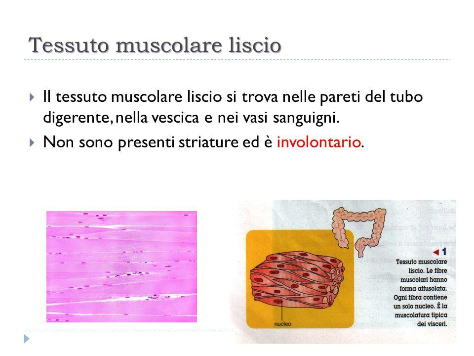 Tessuto muscolare liscio  Il tessuto muscolare liscio si trova nelle pareti del tubo digerente, nella vescica e nei vasi sanguigni.  Non sono presen