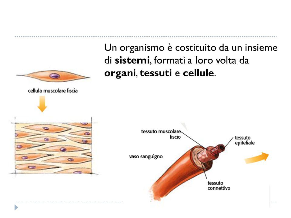 Un organismo è costituito da un insieme di sistemi, formati a loro volta da organi, tessuti e cellule.