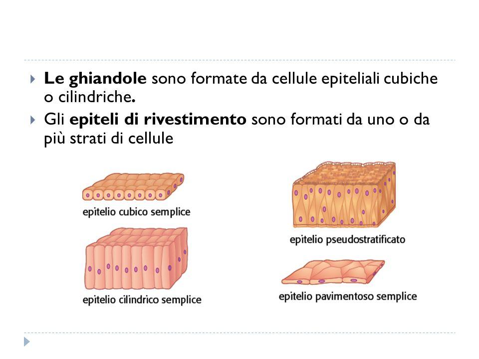  Le ghiandole sono formate da cellule epiteliali cubiche o cilindriche.  Gli epiteli di rivestimento sono formati da uno o da più strati di cellule