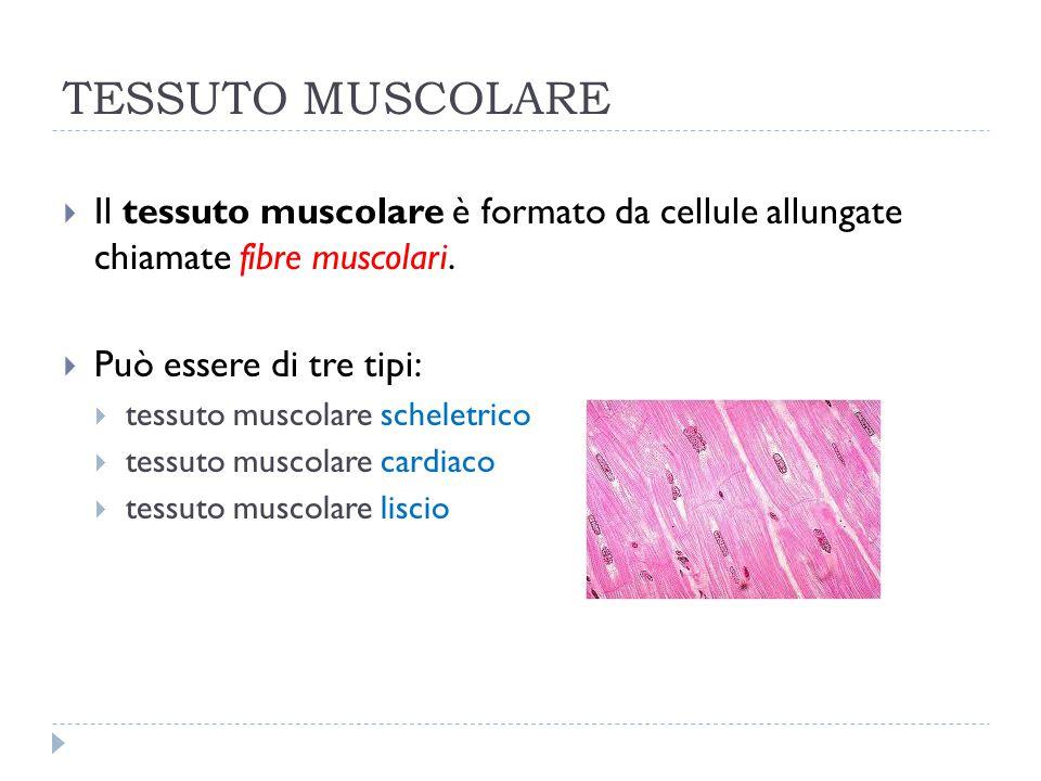 TESSUTO MUSCOLARE  Il tessuto muscolare è formato da cellule allungate chiamate fibre muscolari.  Può essere di tre tipi:  tessuto muscolare schele