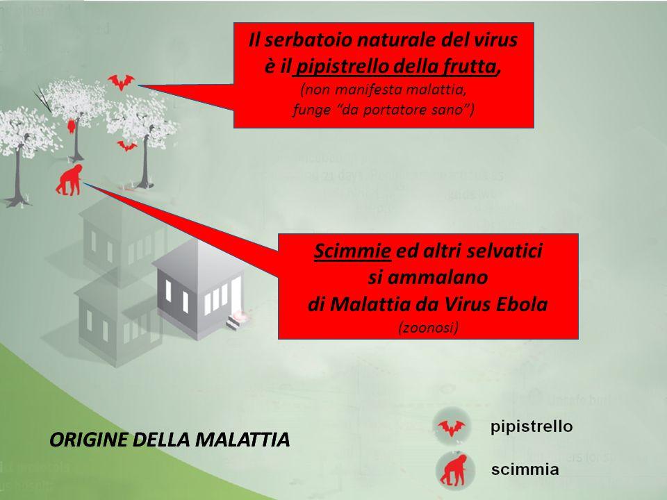"""Il serbatoio naturale del virus è il pipistrello della frutta, (non manifesta malattia, funge """"da portatore sano"""") Il serbatoio naturale del virus è i"""