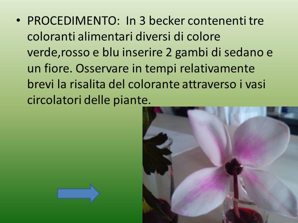 PROCEDIMENTO: In 3 becker contenenti tre coloranti alimentari diversi di colore verde,rosso e blu inserire 2 gambi di sedano e un fiore. Osservare in