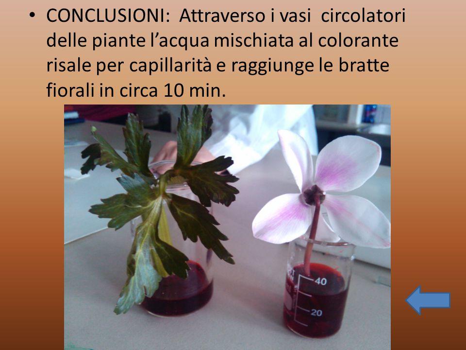 CONCLUSIONI: Attraverso i vasi circolatori delle piante l'acqua mischiata al colorante risale per capillarità e raggiunge le bratte fiorali in circa 1