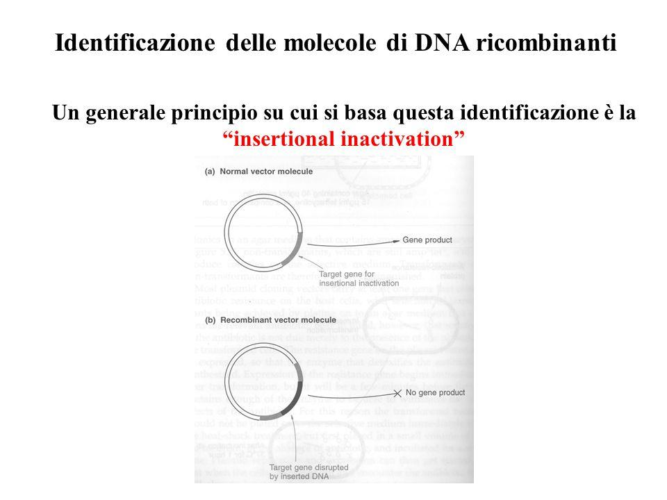 """Identificazione delle molecole di DNA ricombinanti Un generale principio su cui si basa questa identificazione è la """"insertional inactivation"""""""