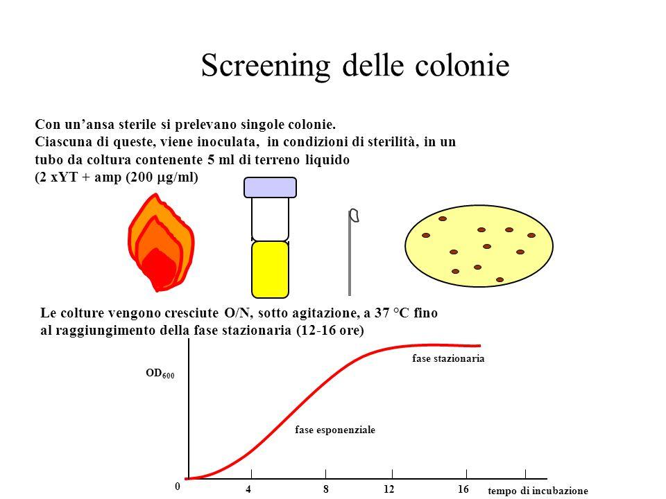 Screening delle colonie Con un'ansa sterile si prelevano singole colonie. Ciascuna di queste, viene inoculata, in condizioni di sterilità, in un tubo