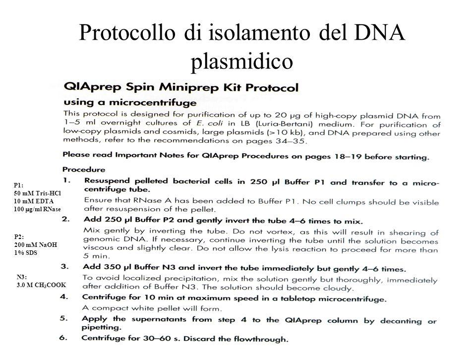 Protocollo di isolamento del DNA plasmidico P1: 50 mM Tris-HCl 10 mM EDTA 100  g/ml RNase P2: 200 mM NaOH 1% SDS N3: 3.0 M CH 3 COOK