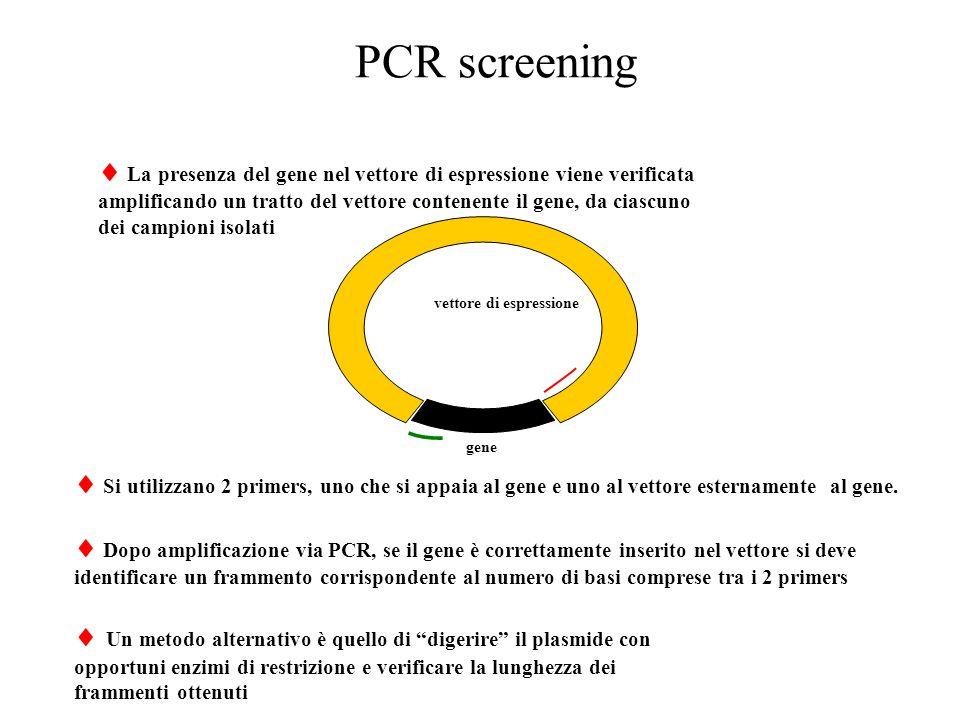 PCR screening  La presenza del gene nel vettore di espressione viene verificata amplificando un tratto del vettore contenente il gene, da ciascuno de
