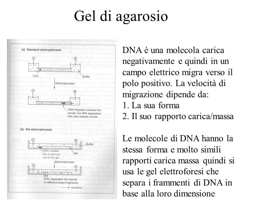 Gel di agarosio DNA è una molecola carica negativamente e quindi in un campo elettrico migra verso il polo positivo.