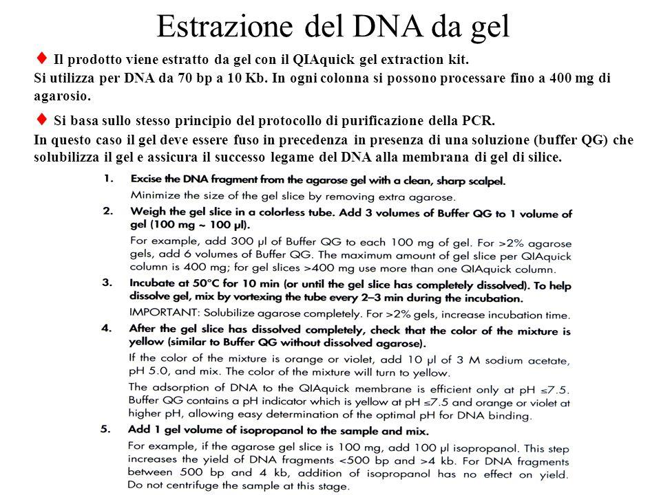 Estrazione del DNA da gel  Il prodotto viene estratto da gel con il QIAquick gel extraction kit.