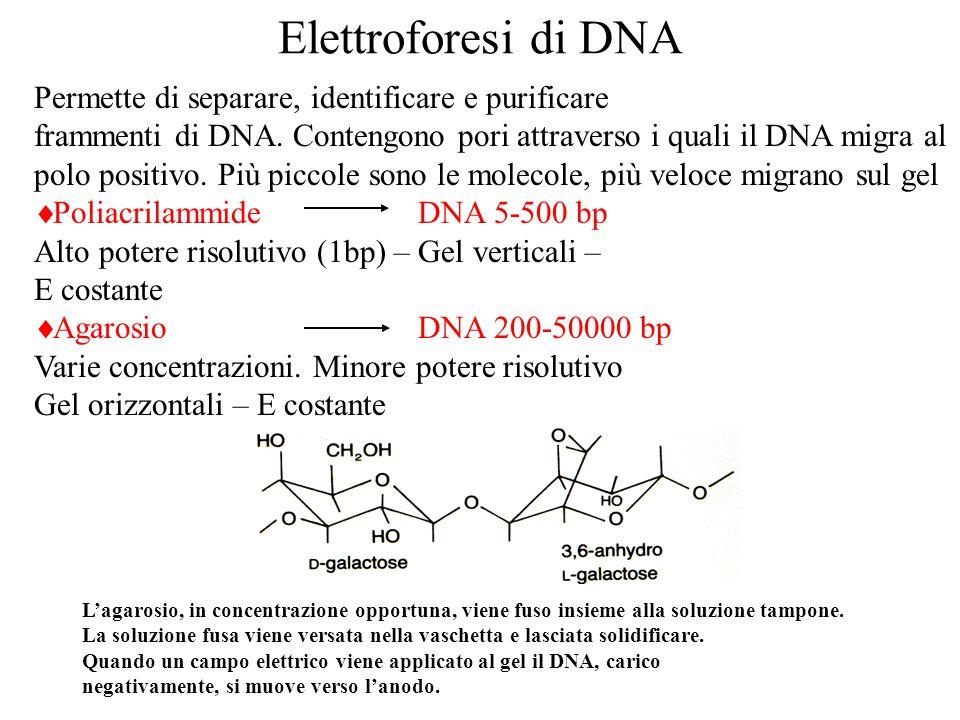 Elettroforesi di DNA Permette di separare, identificare e purificare frammenti di DNA.