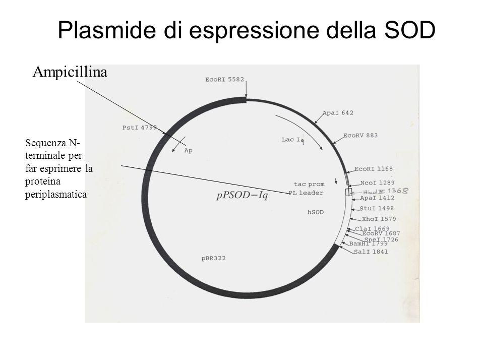 Plasmide di espressione della SOD Sequenza N- terminale per far esprimere la proteina periplasmatica Ampicillina