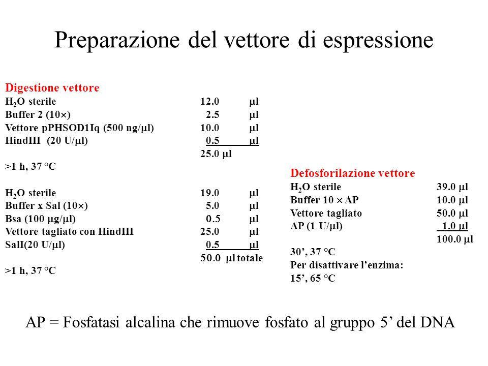 Preparazione del vettore di espressione Digestione vettore H 2 O sterile12.0  l Buffer 2 (10  ) 2.5  l Vettore pPHSOD1Iq (500 ng/  l)10.0  l HindIII (20 U/  l) 0.5  l 25.0  l >1 h, 37 °C H 2 O sterile19.0  l Buffer x Sal (10  ) 5.0  l Bsa (100  g/  l)  l Vettore tagliato con HindIII25.0  l SalI(20 U/  l) 0.5  l  l totale >1 h, 37 °C Defosforilazione vettore H 2 O sterile39.0  l Buffer 10  AP10.0  l Vettore tagliato 50.0  l AP (1 U/  l) 1.0  l 100.0  l 30', 37 °C Per disattivare l'enzima: 15', 65 °C AP = Fosfatasi alcalina che rimuove fosfato al gruppo 5' del DNA