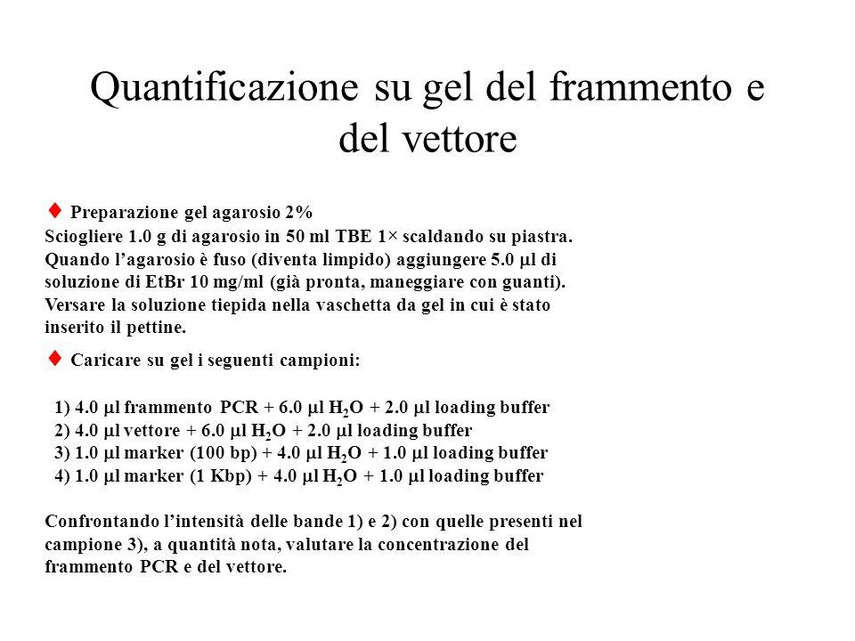 Quantificazione su gel del frammento e del vettore  Preparazione gel agarosio 2% Sciogliere 1.0 g di agarosio in 50 ml TBE 1× scaldando su piastra.