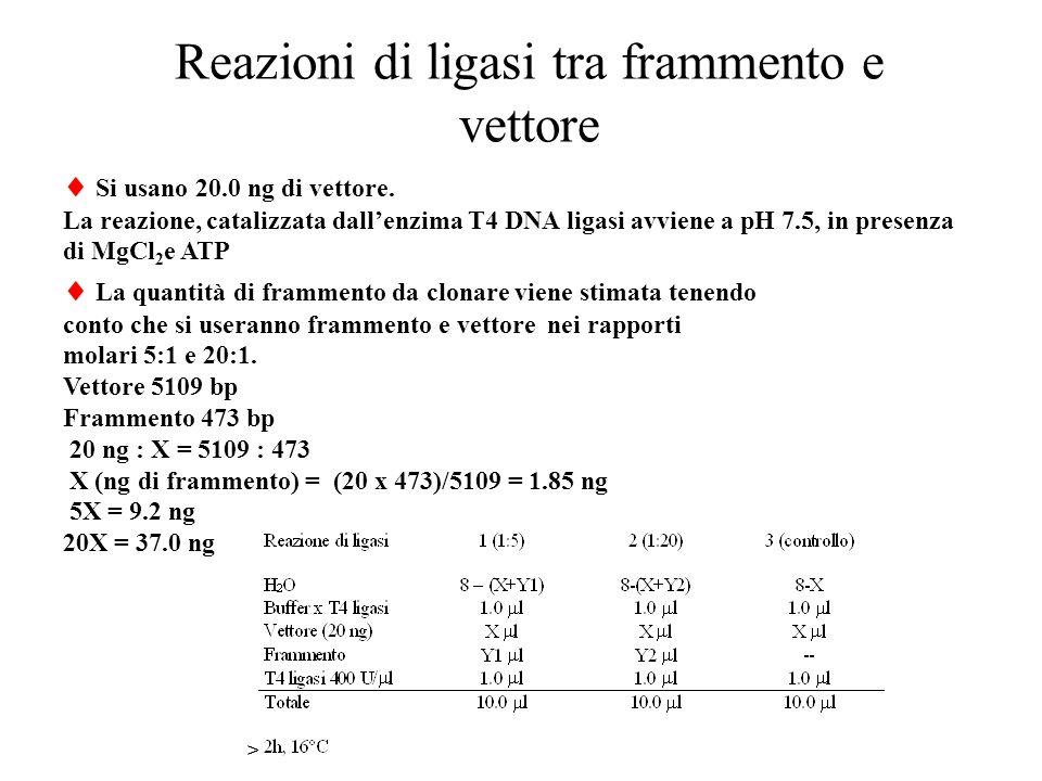 Reazioni di ligasi tra frammento e vettore  Si usano 20.0 ng di vettore.