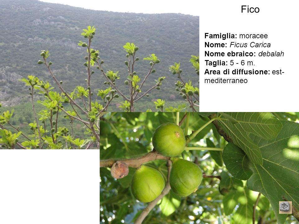 Fico Famiglia: moracee Nome: Ficus Carica Nome ebraico: debalah Taglia: 5 - 6 m. Area di diffusione: est- mediterraneo