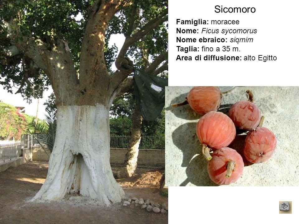 Sicomoro Famiglia: moracee Nome: Ficus sycomorus Nome ebraico: siqmim Taglia: fino a 35 m. Area di diffusione: alto Egitto