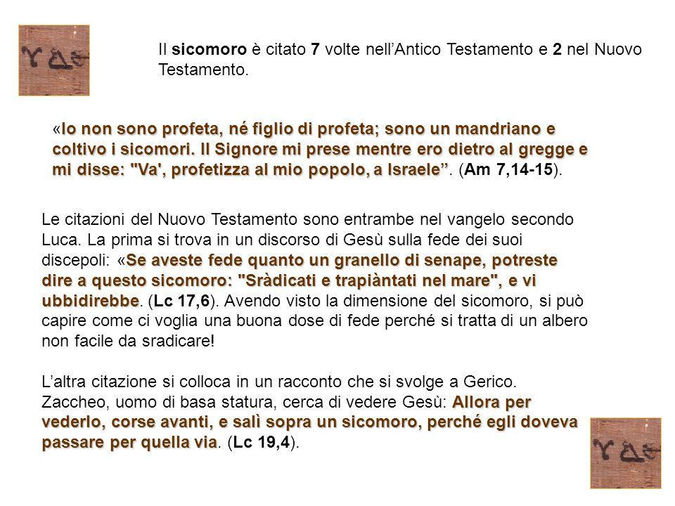 Il sicomoro è citato 7 volte nell'Antico Testamento e 2 nel Nuovo Testamento. Io non sono profeta, né figlio di profeta; sono un mandriano e coltivo i
