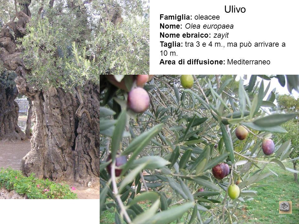 Ulivo Famiglia: oleacee Nome: Olea europaea Nome ebraico: zayit Taglia: tra 3 e 4 m., ma può arrivare a 10 m. Area di diffusione: Mediterraneo