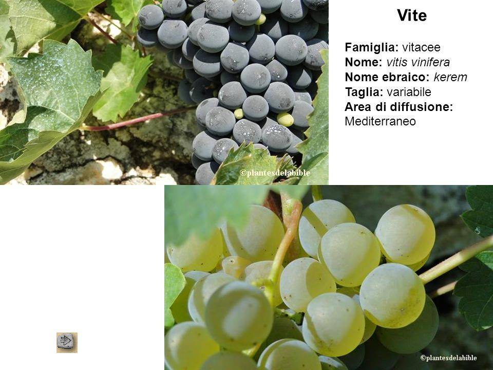 Vite Famiglia: vitacee Nome: vitis vinifera Nome ebraico: kerem Taglia: variabile Area di diffusione: Mediterraneo