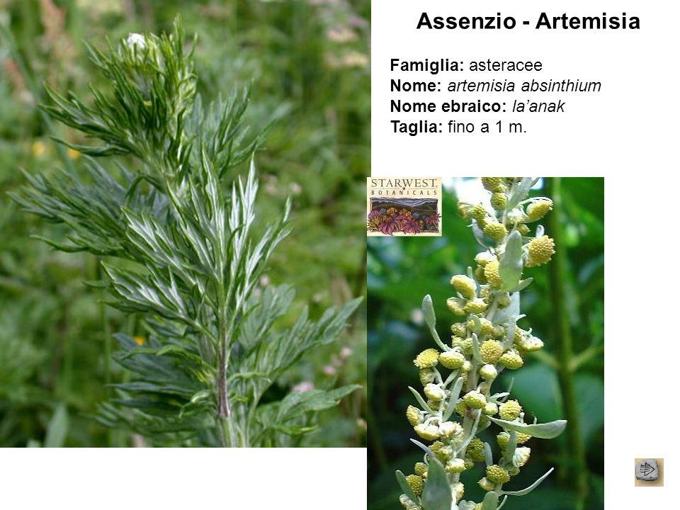 Assenzio - Artemisia Famiglia: asteracee Nome: artemisia absinthium Nome ebraico: la'anak Taglia: fino a 1 m.