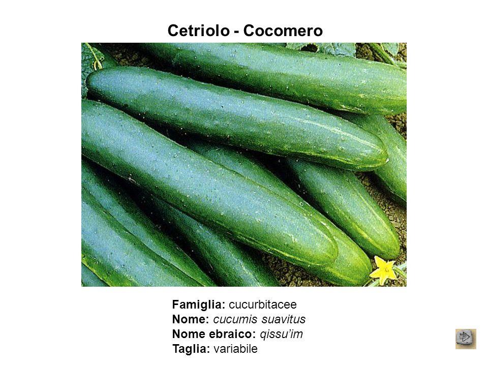 Cetriolo - Cocomero Famiglia: cucurbitacee Nome: cucumis suavitus Nome ebraico: qissu'im Taglia: variabile