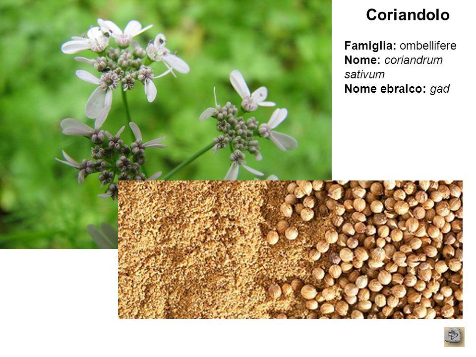 Coriandolo Famiglia: ombellifere Nome: coriandrum sativum Nome ebraico: gad