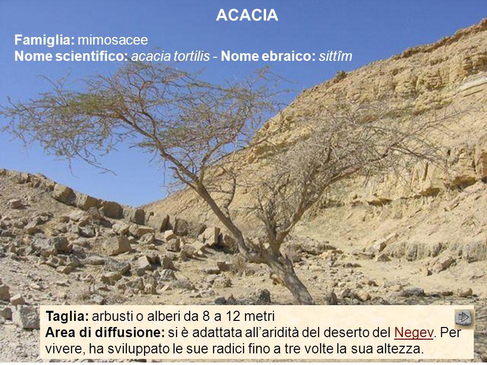Taglia: arbusti o alberi da 8 a 12 metri Area di diffusione: si è adattata all'aridità del deserto del Negev. Per vivere, ha sviluppato le sue radici