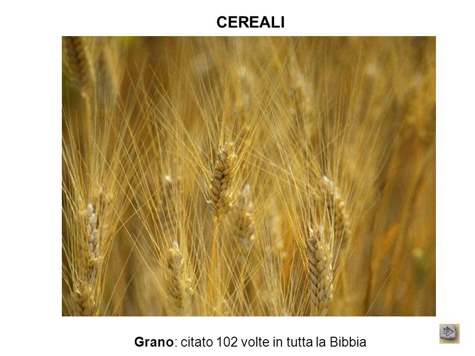 CEREALI Grano: citato 102 volte in tutta la Bibbia
