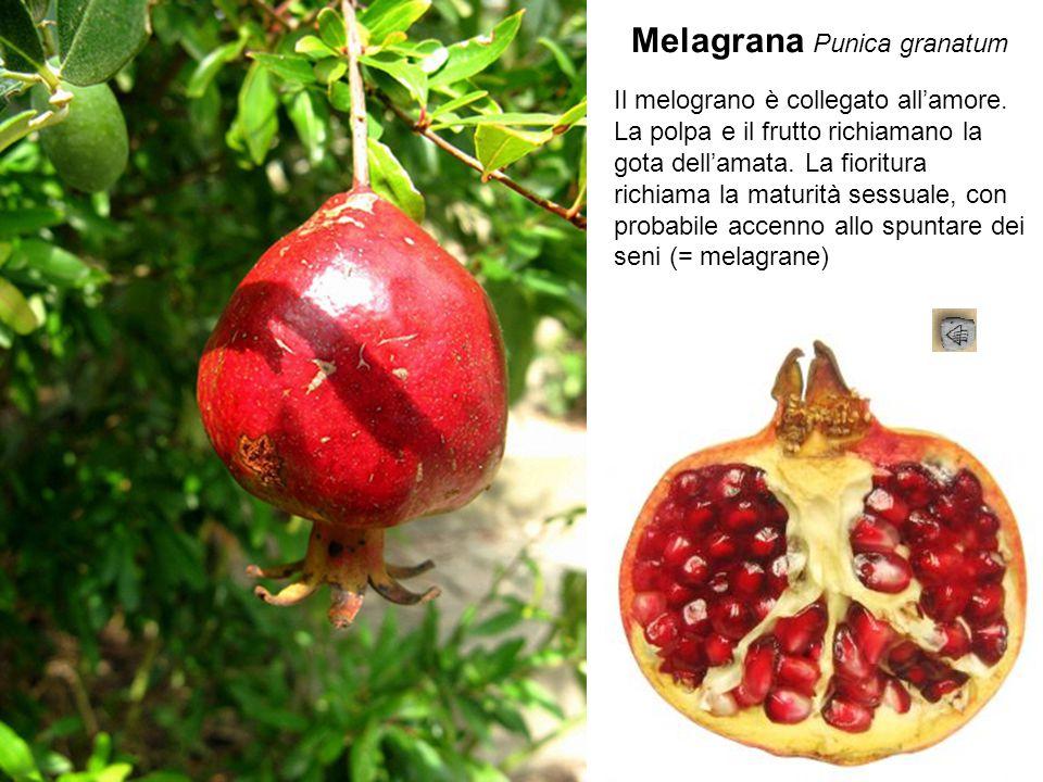 Melagrana Punica granatum Il melograno è collegato all'amore. La polpa e il frutto richiamano la gota dell'amata. La fioritura richiama la maturità se