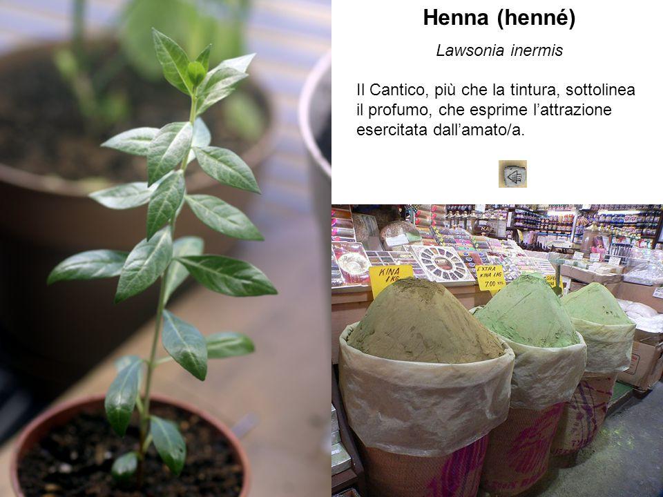 Henna (henné) Lawsonia inermis Il Cantico, più che la tintura, sottolinea il profumo, che esprime l'attrazione esercitata dall'amato/a.