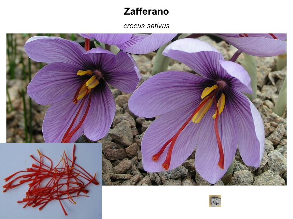 Zafferano crocus sativus