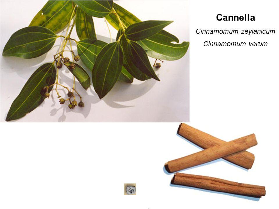Cannella Cinnamomum zeylanicum Cinnamomum verum