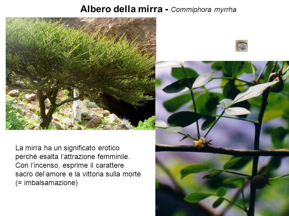 Albero della mirra - Commiphora myrrha La mirra ha un significato erotico perché esalta l'attrazione femminile. Con l'incenso, esprime il carattere sa
