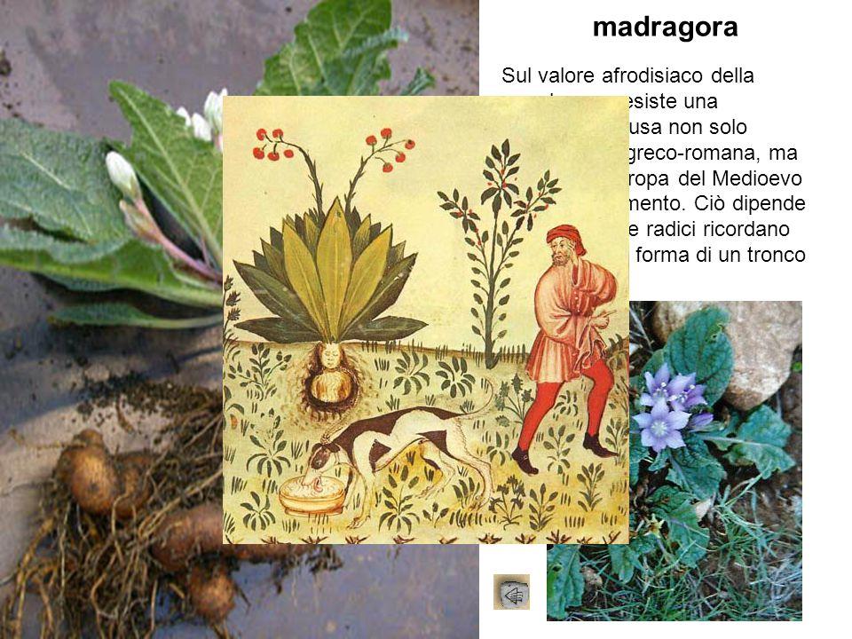madragora Sul valore afrodisiaco della mandragora esiste una tradizione diffusa non solo nell'antichità greco-romana, ma anche nell'Europa del Medioev