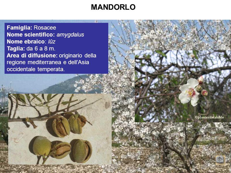 MANDORLO Famiglia: Rosacee Nome scientifico: amygdalus Nome ebraico: lûz Taglia: da 6 a 8 m. Area di diffusione: originario della regione mediterranea