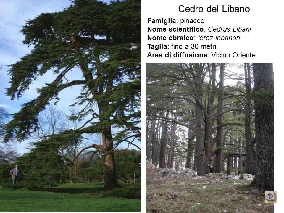 Cedro del Libano Famiglia: pinacee Nome scientifico: Cedrus Libani Nome ebraico: 'erez lebanon Taglia: fino a 30 metri Area di diffusione: Vicino Orie