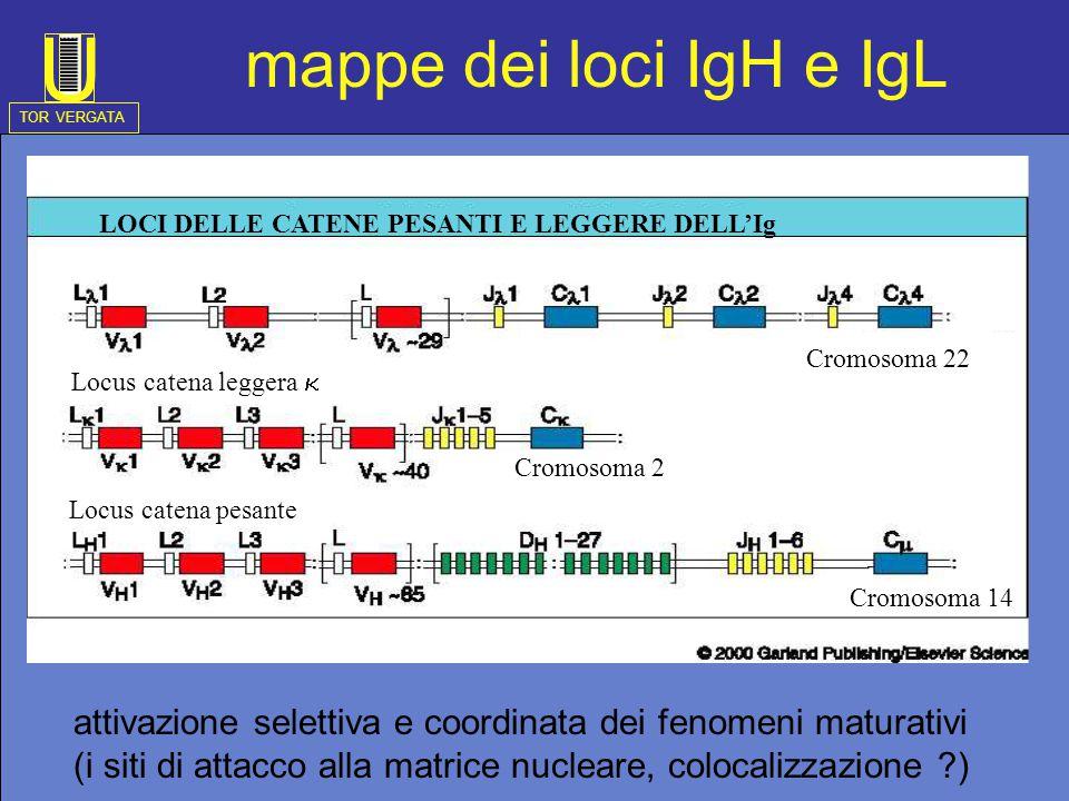 Locus catena leggera Locus catena leggera  Locus catena pesante Cromosoma 22 Cromosoma 2 Cromosoma 14 LOCI DELLE CATENE PESANTI E LEGGERE DELL'Ig mappe dei loci IgH e IgL attivazione selettiva e coordinata dei fenomeni maturativi (i siti di attacco alla matrice nucleare, colocalizzazione ) TOR VERGATA U