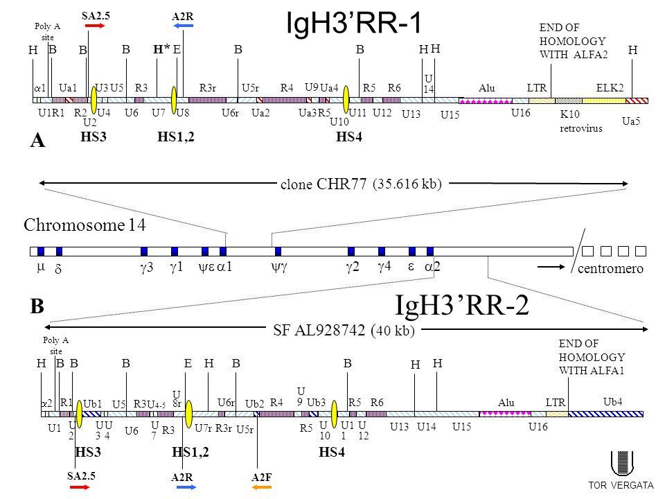 Chromosome 14 IgH3'RR-2 SF AL928742 ( 40 kb) H 22 B HS3 B U2U2 U4U4 U5 B R3 H HS1,2 E R3r U5r U1 R1 U3U3 U6 U7U7 U 8r B U6r HS4 Ub1 U 4-5 R3 U7r Ub2 B H R4 U9U9 R5 Ub3 U 10 R5 U1 1 U 12 R6 SA2.5 A2RA2F Alu U15U16 H LTR END OF HOMOLOGY WITH ALFA1 U14U13 Ub4 H 11 B HS3 B U2 U4 U5 B R3 H*H* HS1,2 E R3rU5r U1R1 Ua1 R2 U3 U6U7U8 B U6r HS4 BH Ua2 R4 Ua3 U9 Ua4 R5 U10 U11 R5 U12 R6 U13 SA2.5 A2R Alu U15 U16 H LTR END OF HOMOLOGY WITH ALFA2 K10 retrovirus ELK2 H U 14 Ua5 A B centromero   33 11 22 44 11   22 clone CHR77 (35.616 kb) Poly A site Poly A site IgH3'RR-1 TOR VERGATA