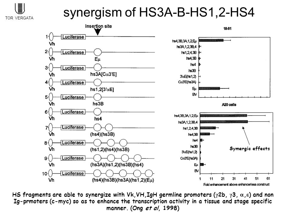 HS fragments are able to synergize with Vk,VH,IgH germline promoters (  2b,  3, ,  ) and non Ig-prmoters (c-myc) so as to enhance the transcription activity in a tissue and stage specific manner.